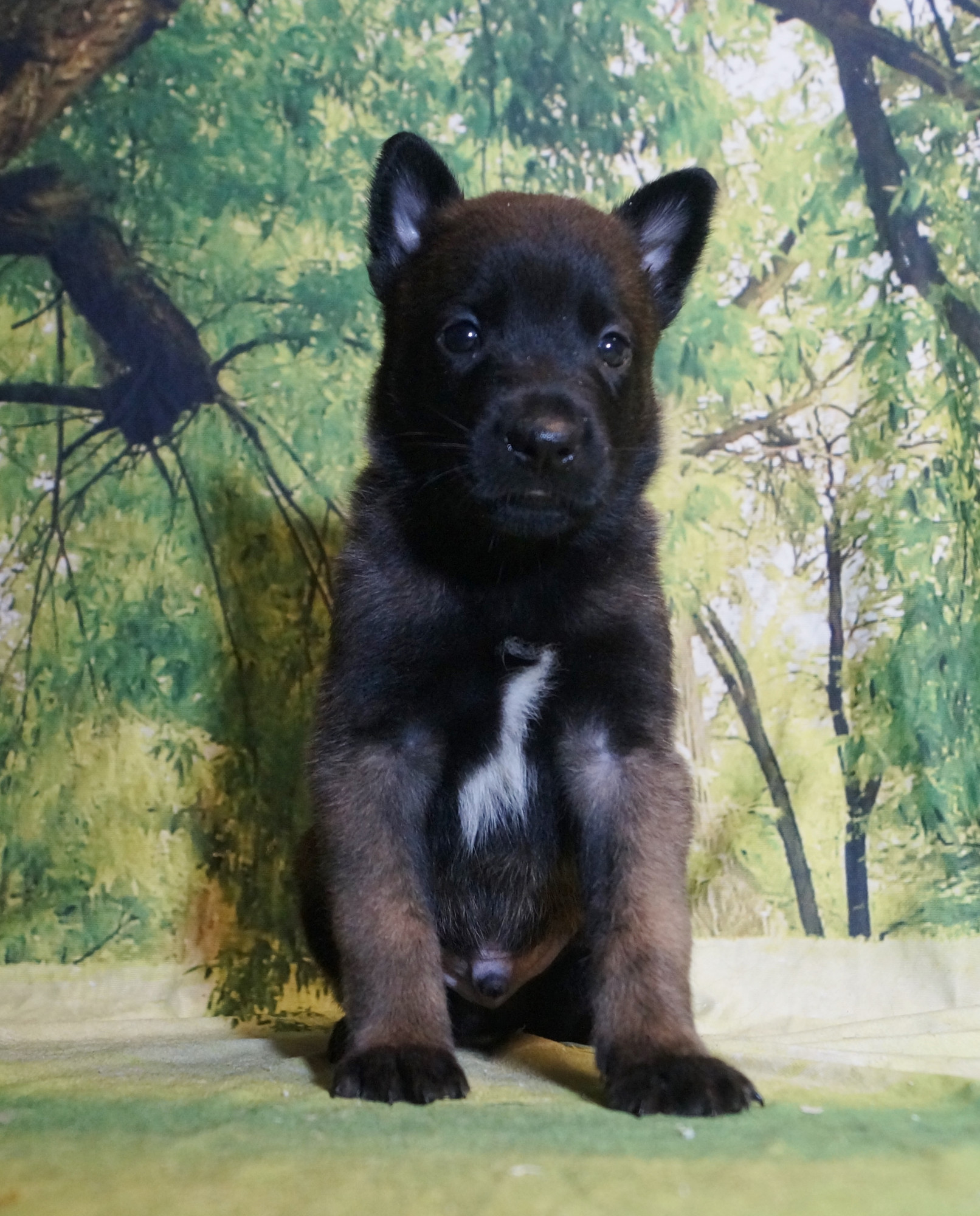 CHIOT MALE NIGHT 4