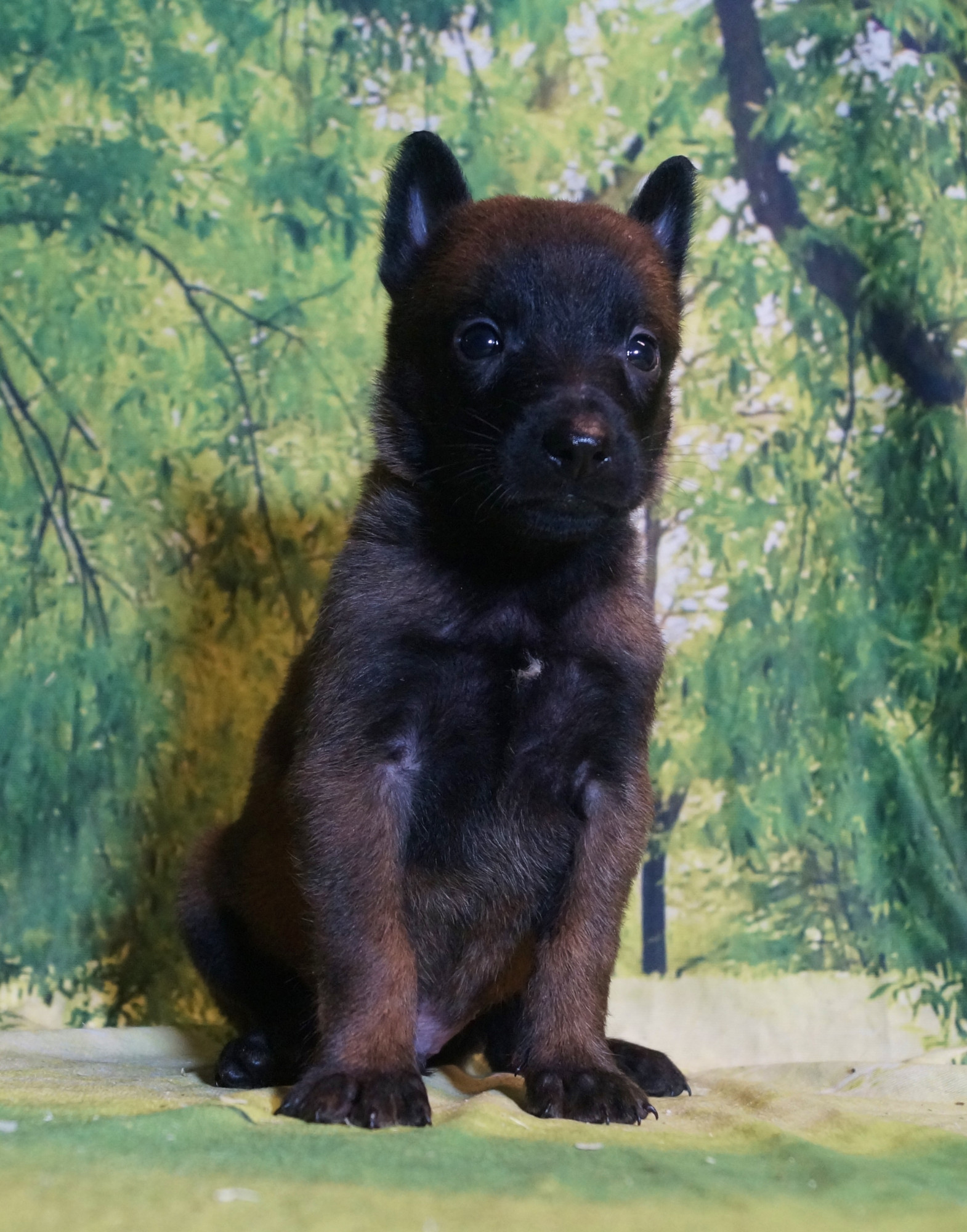CHIOT MALE NIGHT 5
