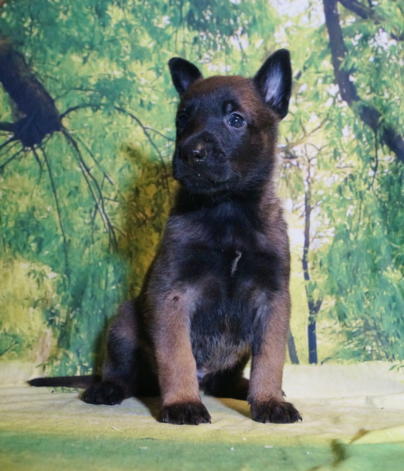 CHIOT MALE NIGHT 7